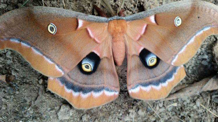 photo of Antheraea polyphemus